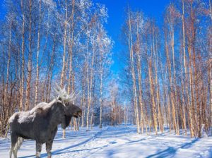 Magnificent elk in the snow-covered grove